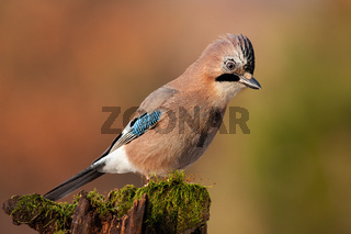 Jay sitting on top of old tree trunk with green moss at sunset.