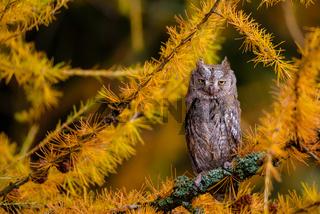 The Eurasian scops owl ,Otus scops, European scops owl in larch