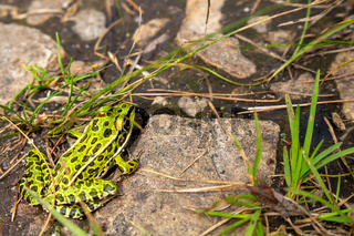 Green Frog on Rocky Forest Floor with Grass