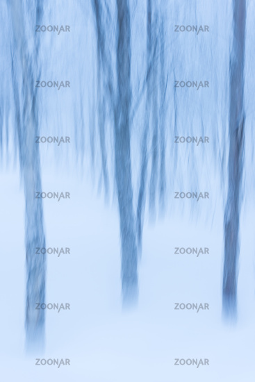 birches in snow, abstract, wiping effect, Lapland