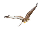Common buzzard flying i the air isolated on white background.