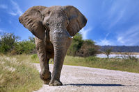 Elephant running at the street, Etosha National Park, Namibia, (Loxodonta africana)