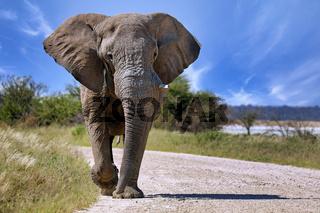 Elefant laeuft auf der Straße, Etosha-Nationalpark, Namibia, (Loxodonta africana) | Elephant running at the street, Etosha National Park, Namibia, (Loxodonta africana)