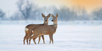 Two young roe deer standing on snow in wintertime with copy space.
