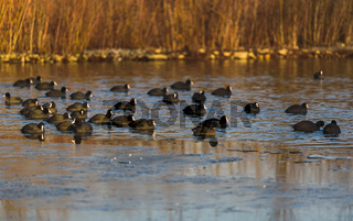 Group of coots on ice on frozen lake in winter.