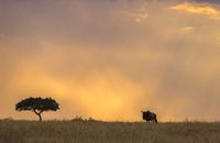 Wildebeest silhouette with tree Maasai Mara National Reserve, Kenya, Africa