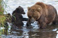 Mother Kamchatka brown bear with two bear cubs fishing red salmon fish during fish spawning in river
