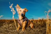 Portrait of a young brown healthy crossbreed dog sitting on the meadow straw in a field with blue sk