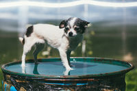 A small and funny Chihuahua dog standing on the lid of a barrel filled with water against a blurred summer garden. Stay at home coronavirus covid-19 quarantine concept