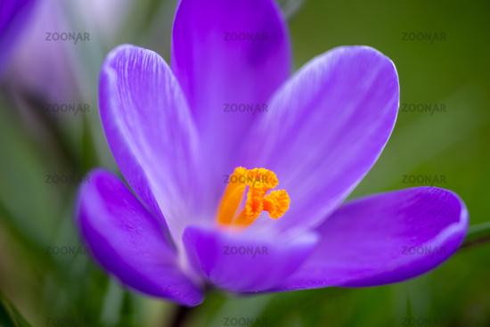 Violette Crocus