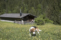 Beagle in front of alpine hut