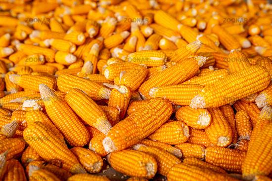 Raw sweet yellow corn, local market