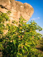 Small peach tree seeking shelter at a boulder