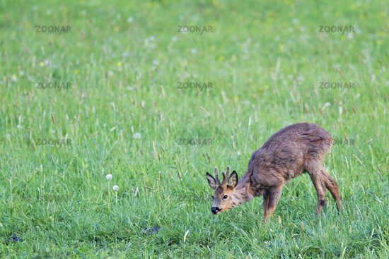 Roebuck encounter with a conspecific