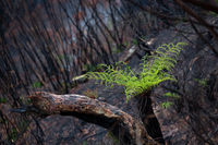 A tree fern flourishes after bush ires in Australia