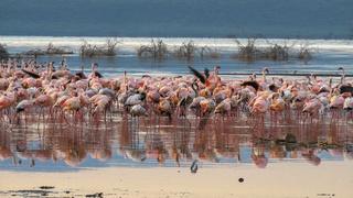 flamingos at sunrise on the shore of lake bogoria, kenya