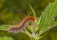 Butterfly caterpillar Great tiger moth  'Arctia caja' on nettle