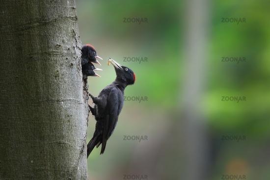 Black woodpecker mother feeding chicks on nest in tree.