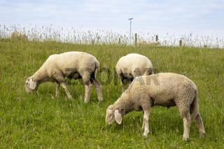Schafe grasen am Deich