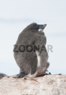 Young and moulting sleep Adélie penguin.
