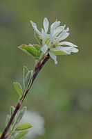 Shadbush (Amelanchier)