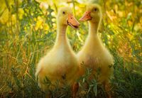 Two little yellow ducklings walk on green grass on a sunny day
