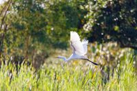 Heron In Flight, Masoala Madagascar