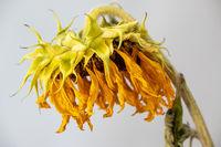 trockene Sonnenblume