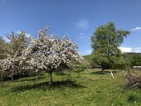 Blooming apple tree, orchard park