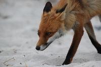 red fox (Vulpes vulpes) Germany