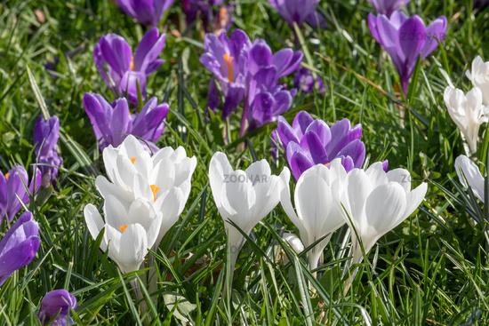 Weiße und violette Blüten des Frühlings-Krokus