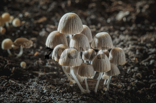 Small mushrooms toadstools. Psilocybin mushrooms on dark background
