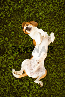 Beagle wallow and roll on grass. Dog has relaxation time lying down on green grass.