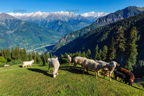 Flock of sheep in the Himalayas