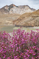 Rhododendron dauricum bushes with flowers (popular names bagulnik, maralnik) with altai river Katun and Chuya on background.