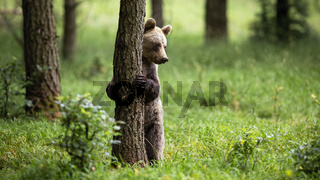Shy brown bear standing in upright position on rear legs in forest
