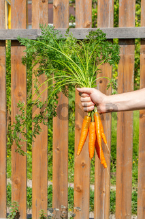A bunch of carrots oranges with tops in hand on the background of a wooden fence. Farm harvesting fresh organic vegetables. Concept autumn harvest of ripened root crops