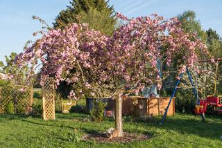 Zierkirsche im Garten - ländliche Gartengestaltung Japanische Blütenkirsche