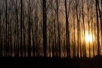 rows of bare trees in the light of sunset
