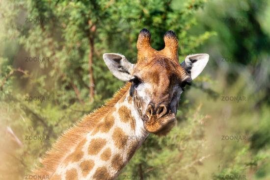 Giraffe in Pilanesberg National Park in South Africa