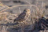 A Burrowing Owl Portrait, Northern California, USA