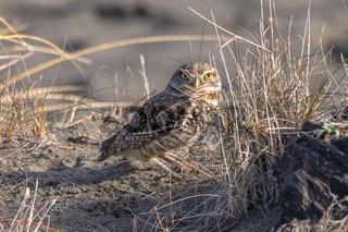 A Burrowing Owl Portrait, Northern California, USA