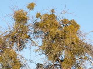 Misteln in einem alten Obstbaum.