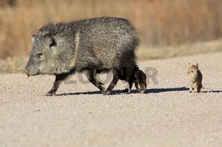 Javelina Nabelschwein mit Nachwuchs