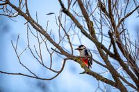 Downy woodpecker perched on a tree, wildlife, Europe