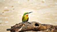 Blue-tailed Bee-eater (Merops philippinus). Sri Lanka