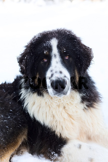 Bulgarian Shepherd, Karakachan Dog Portrait
