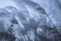 Floral dark blue nature background of elephant grass.