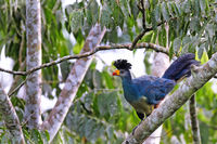 great blue turaco at Bugoma Central Forest Reserve in Uganda (Corythaeola cristata)