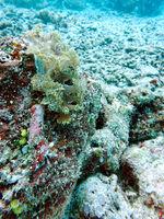 Nudibranch Marionia  sp.
